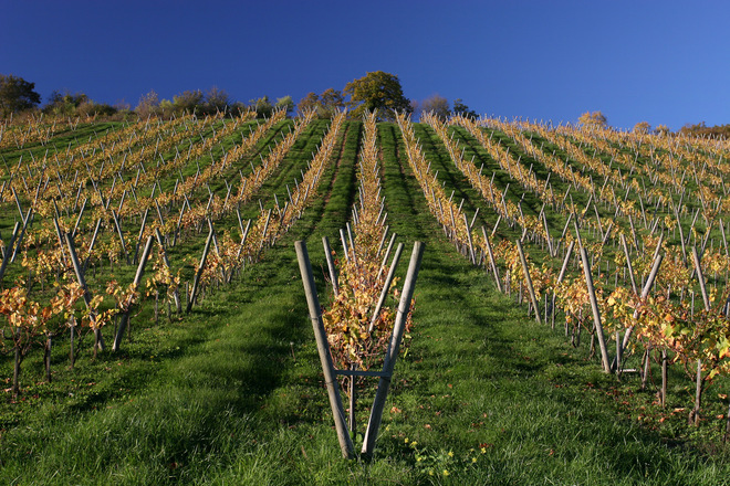 Vineyard Field