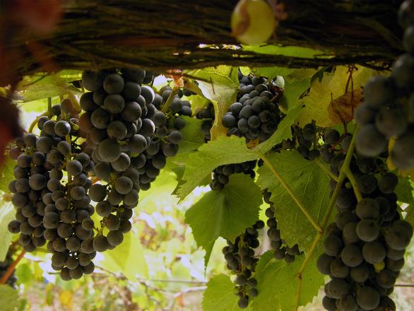 Oregon Grape Harvest
