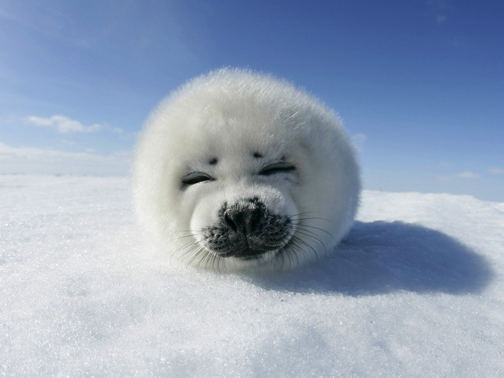 via  http://lovinlosing.com/wallpaper/3383/animal-life-all-animals-baby-seal-canadian-hd-background-widescreen.html