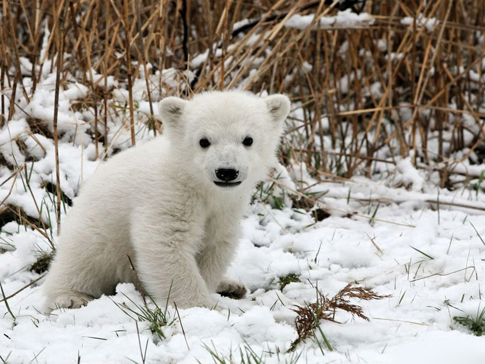 via  http://www.pageresource.com/wallpapers/12383/polar-bear-baby-3-hd-wallpaper.html