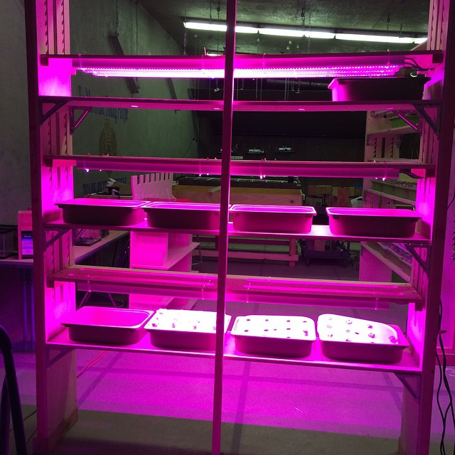 Our first vertical farm at Castlemont High School is almost ready!  The students even devised a solution to make our lights height adjustable! #verticalfarming #urbanagriculture #hydroponics #STEM #oakland #agtech @philipslight @hortamericas @urbanagproducts