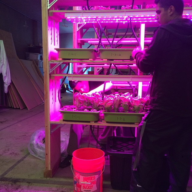 Summer in the Castlemont vertical farm has started with our first harvest!  #hydroponics #verticalfarming #oakland #futurefarmers