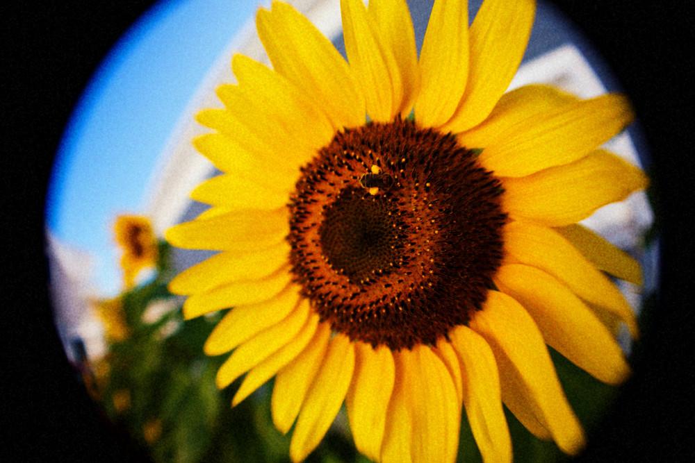 sunflower_MG_2490.jpg