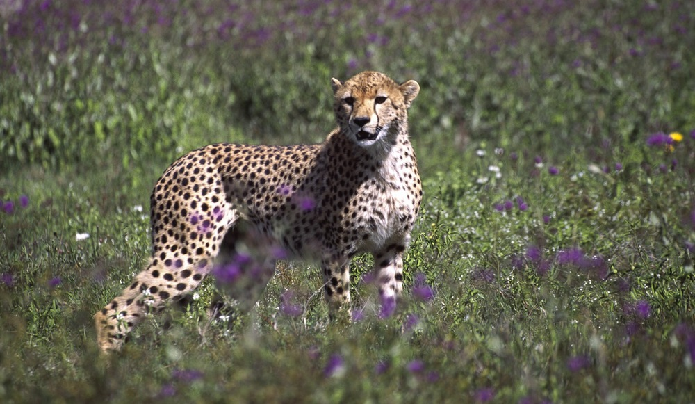 A007 - Cheetah.jpg