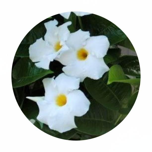 Big leaf and flower of the Mandevilla {image via pinterest}