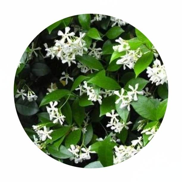 Chinese Star Jasmine is fragrant and evergreen