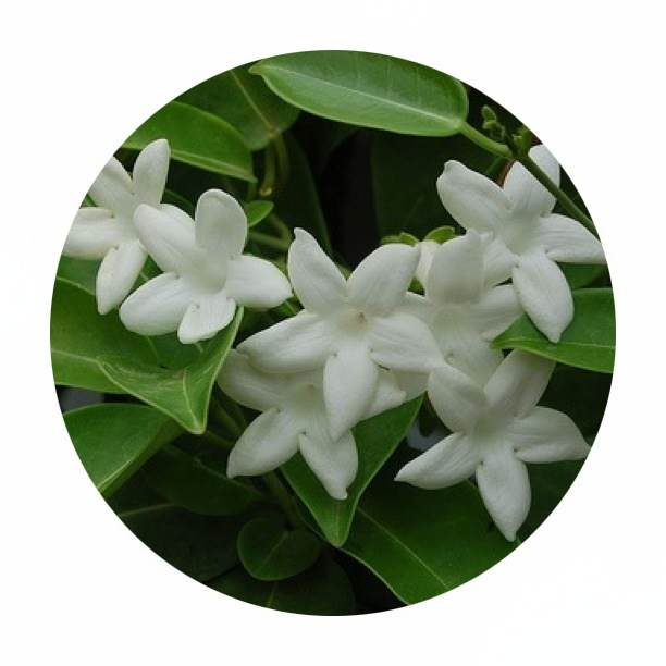 Madagascar Jasmine has glossy dark green leaves