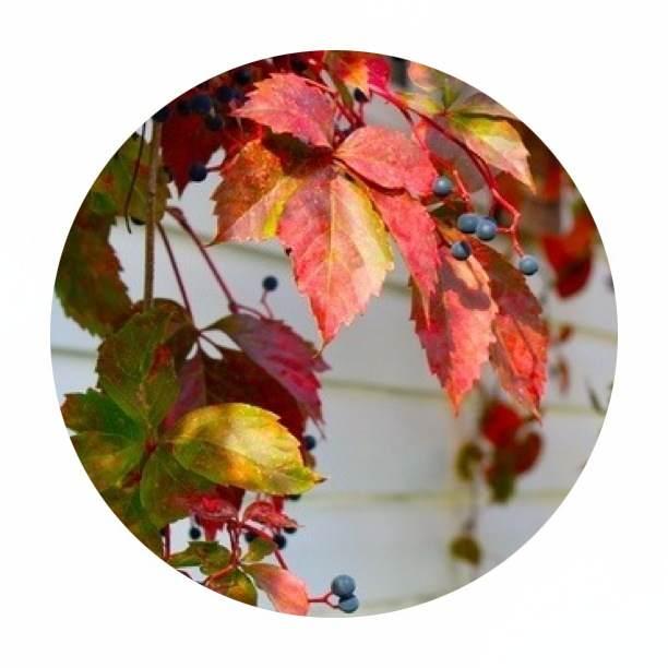 Autumn colour of the Virginia Creeper {image via pinterest}