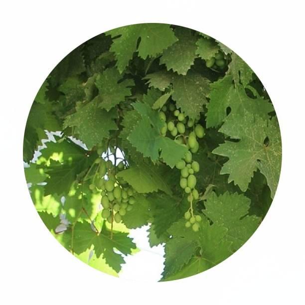 Sunlight through a Grape Vine creates the most beautiful bright green light... so fresh♥