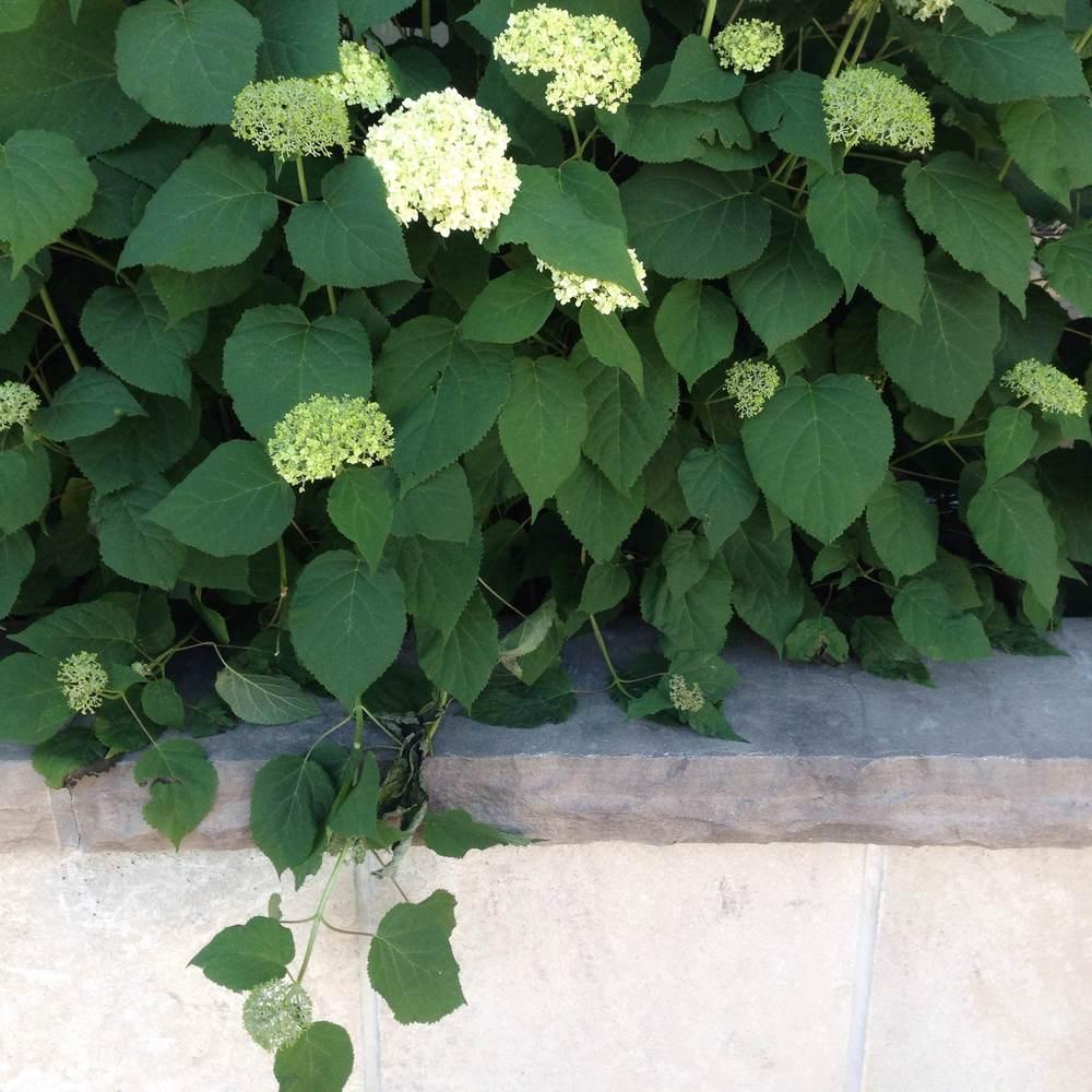 Hydrangea with flagstone. Beautifully classic.