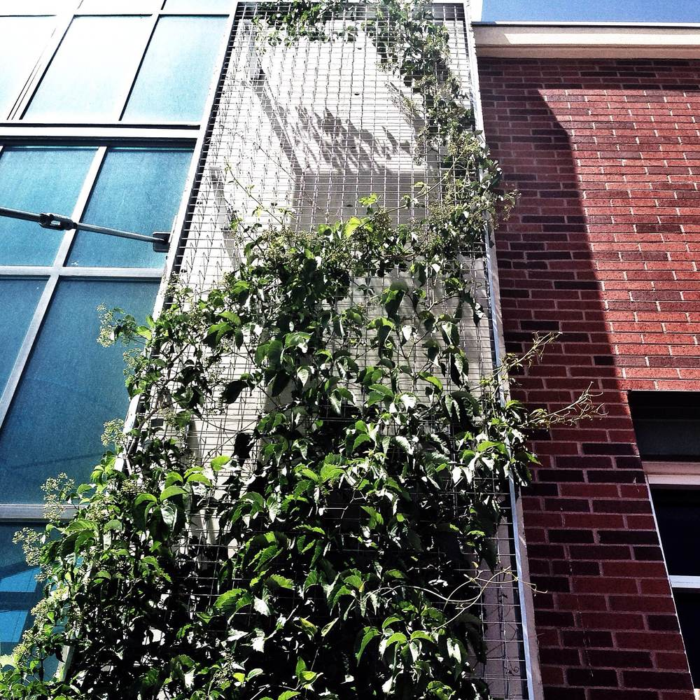 Architectural inspiration everywhere. Steel mesh with Virginia Creeper will be trialled on our garage at home :)