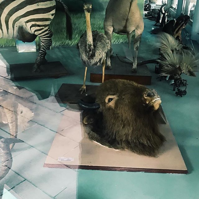 Face up to the sky. What did he see? #zoo #specimen #melancholy #buffalo #faceup #sadanimals #sadanimalfacts #eyeswideopen #perspectives #sides #object #art #artscene