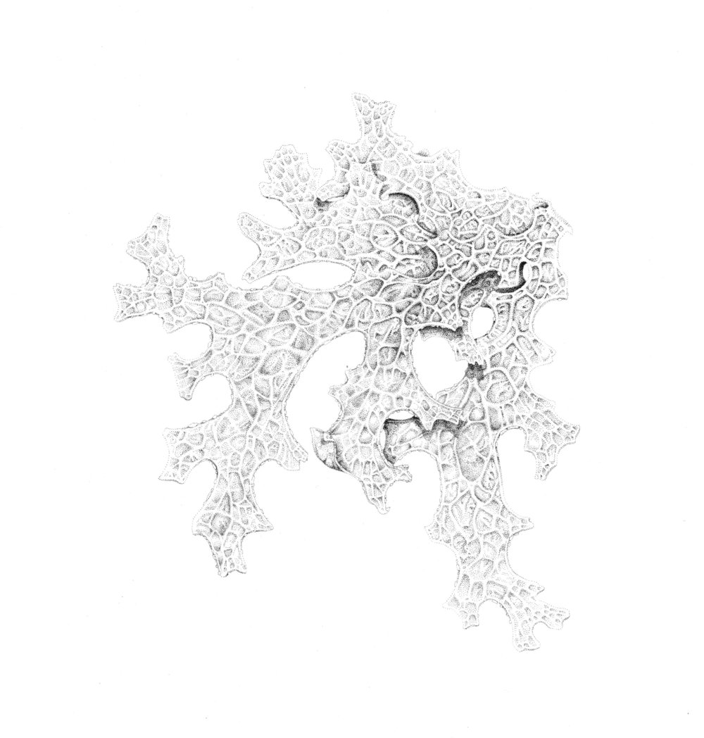 Lobaria_Stipple-1.jpg