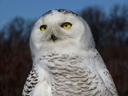 Snowy Owl - Parker River NWR - February 2012