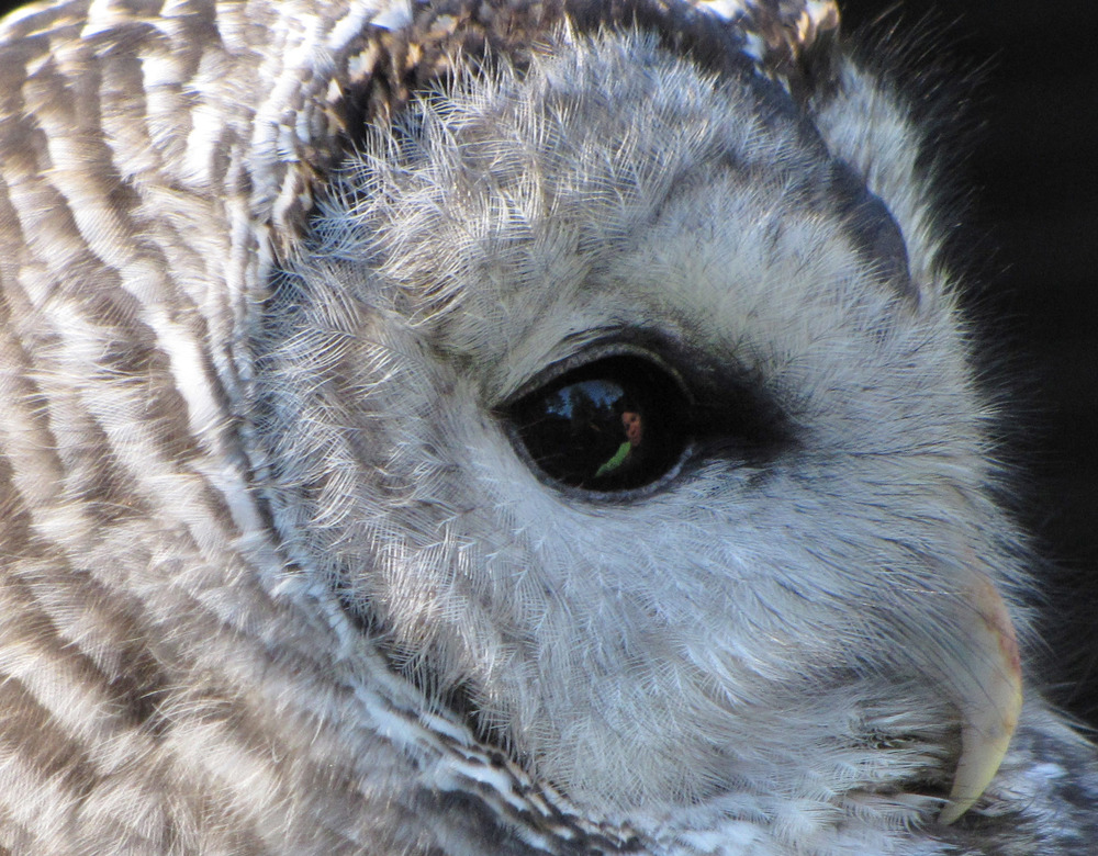Sarah Reflection in Barred Owls Eye.jpg