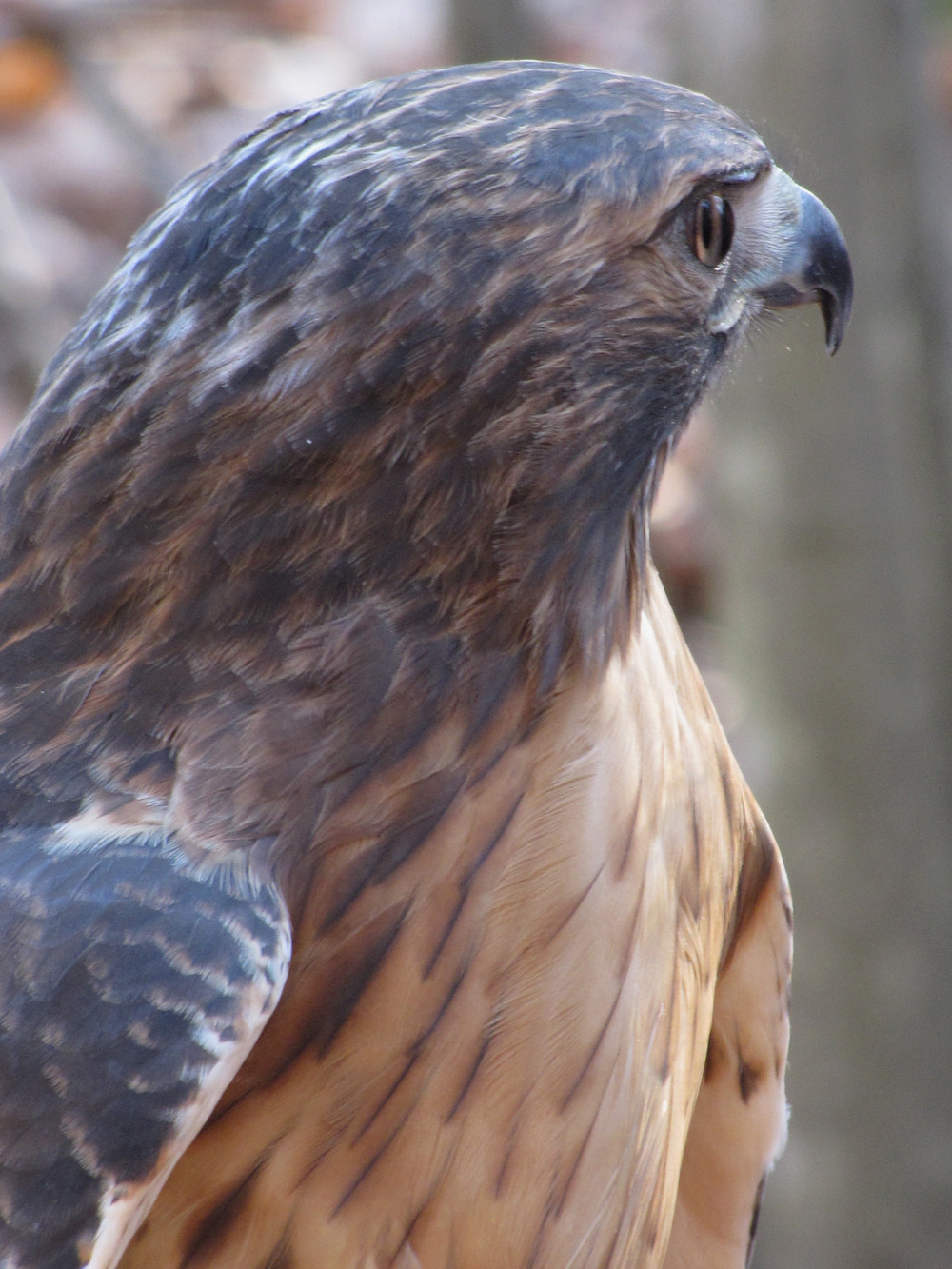 Ruby the Red-tailed Hawk - Side View.jpg