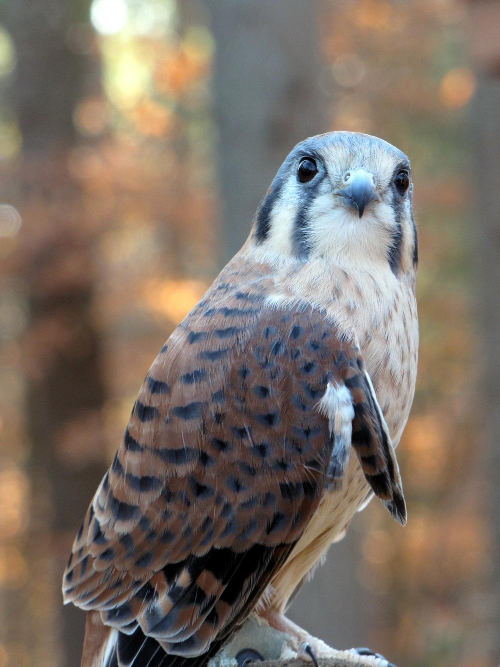 Savannah the Kestrel.jpg