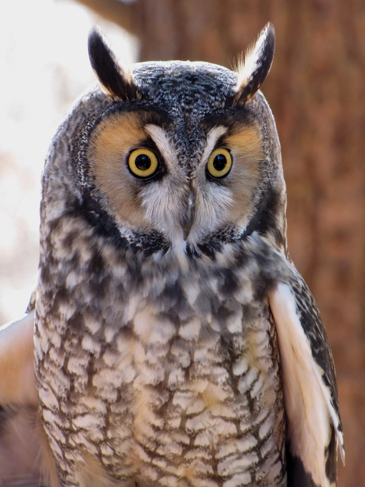 Leo the Long-Eared Owl.jpg