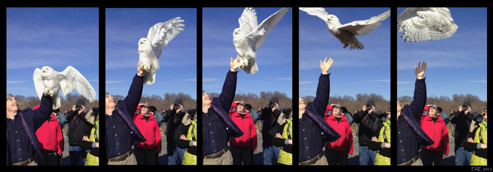 Norm Smith Releases Snowy Owl.jpg