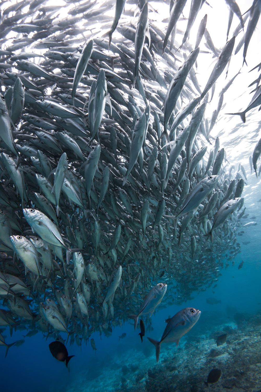 Jackfish in large numbers over shallow reef