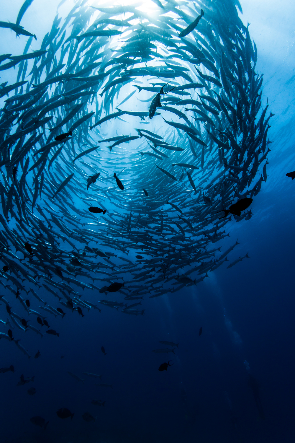 A barracuda vortex develops as divers look on