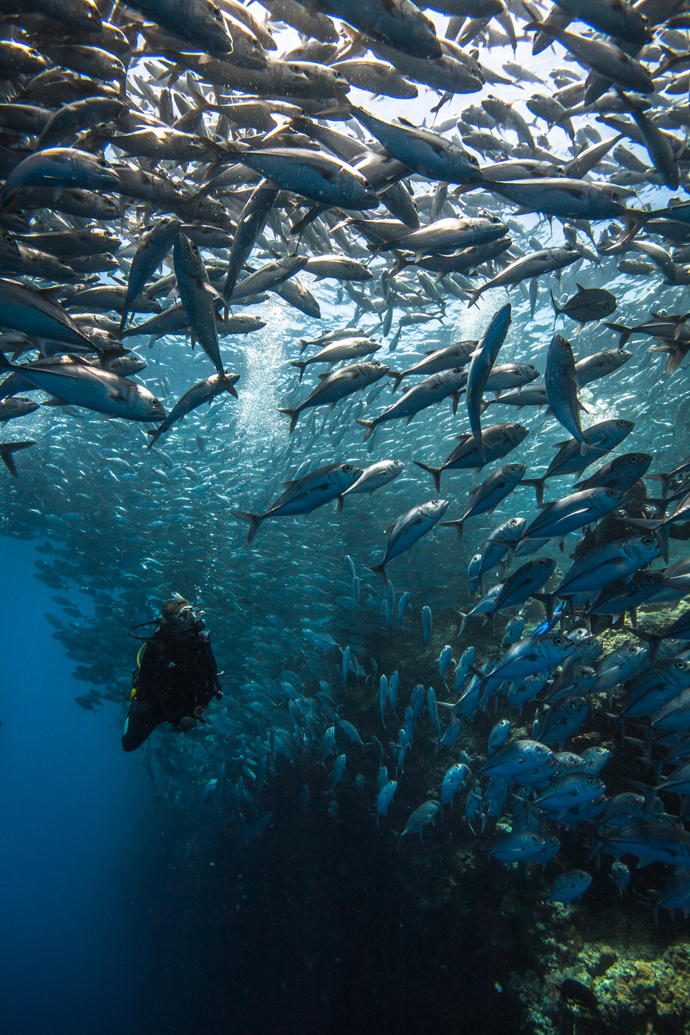 A diver in a cloud of jackfish over shallow reef