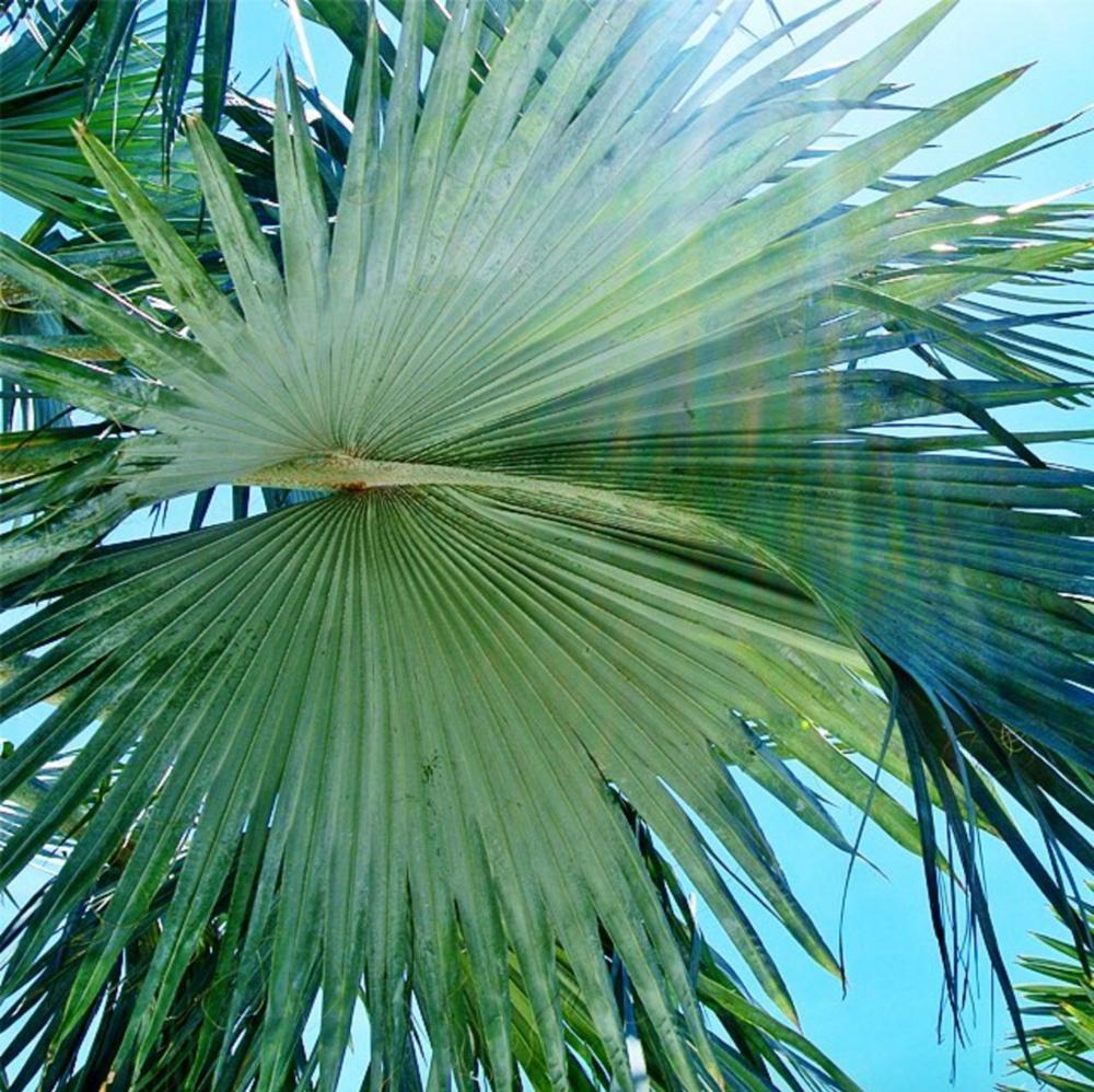 • silver palm •