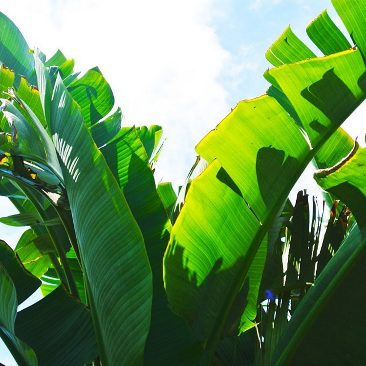 • light breeze + banana leaves •