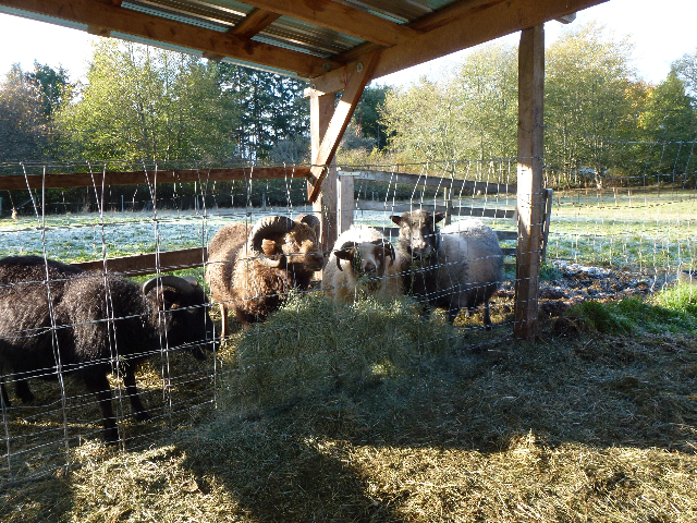 Hay feeder for sheep