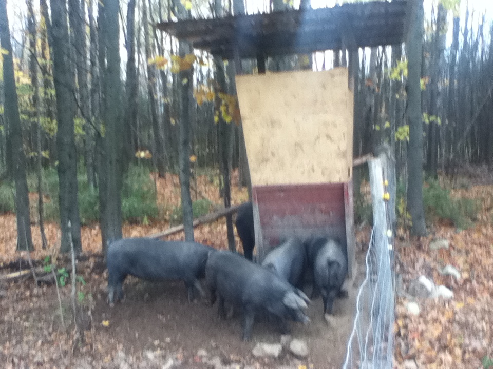 grain feeder for pigs