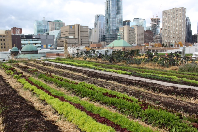 Rooftop farm at Ryerson University