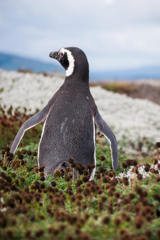 Penguin - Patagonia, 2012