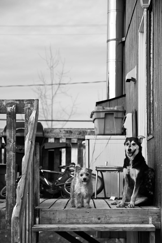 Les chiens en libertés reviennent toujours voir ceux qui les nourrissent