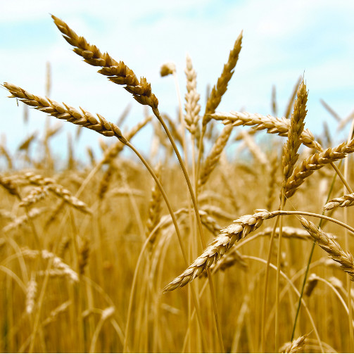 THOSE WITH CELIAC DISEASE MUST AVOID WHEAT & OTHER FOODS CONTAINING GLUTEN