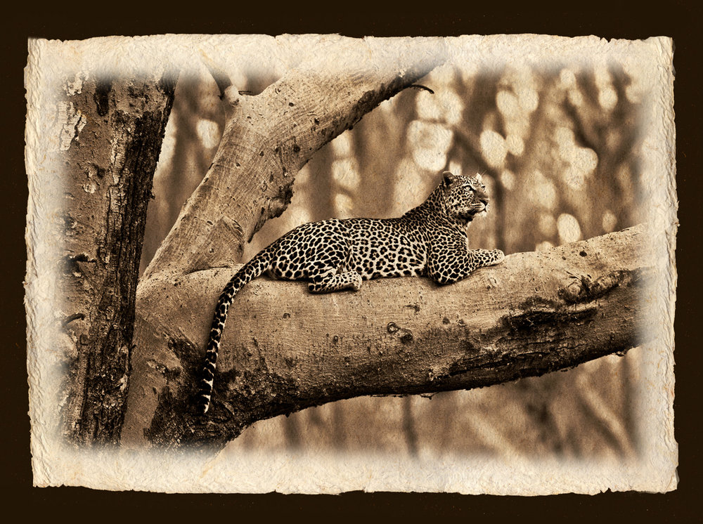 LEOPARD IN FEVER TREE #2.jpg