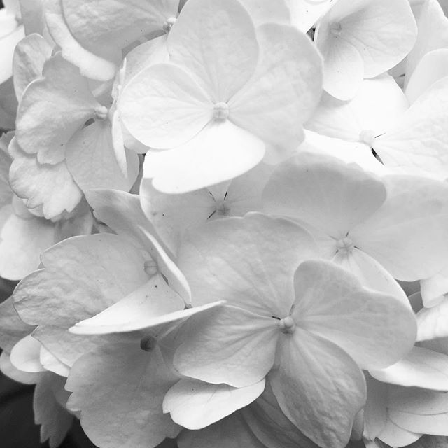 Hydrangea 紫陽花 neojapon.com #hydrangea #japan #flower #neojapon