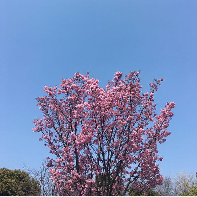 Spring has sprung! Cherry blossom season! neojapon.com #spring #hanami #cherryblossom