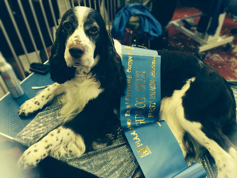 Naomi's First Place - Gun Dog Class Sydney Royal 2014