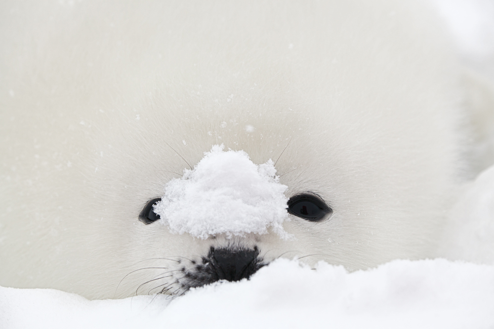 Seal Pup with Snow.jpg