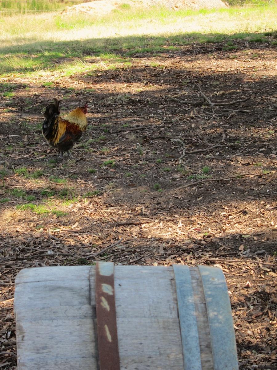 10 rooster.jpg