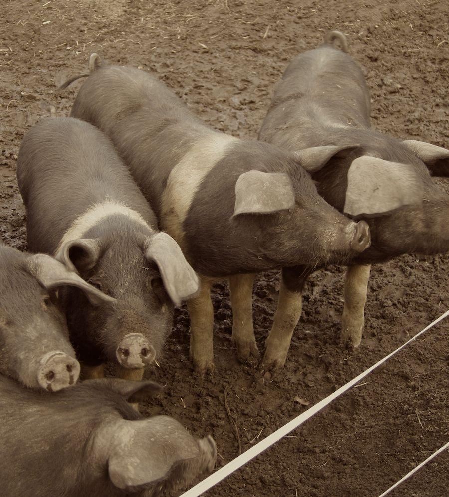 32 piglets.jpg
