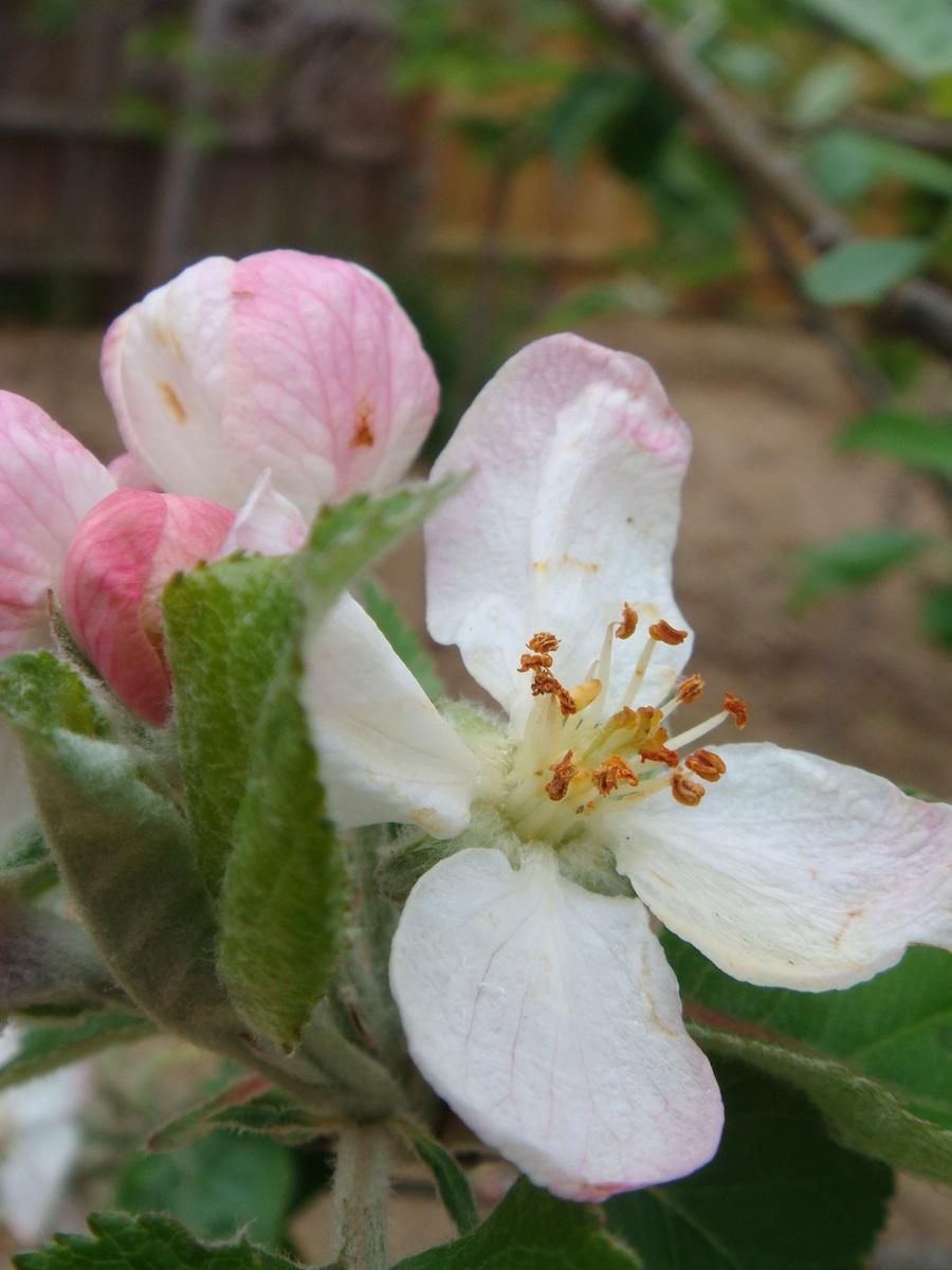 1 apple.jpg