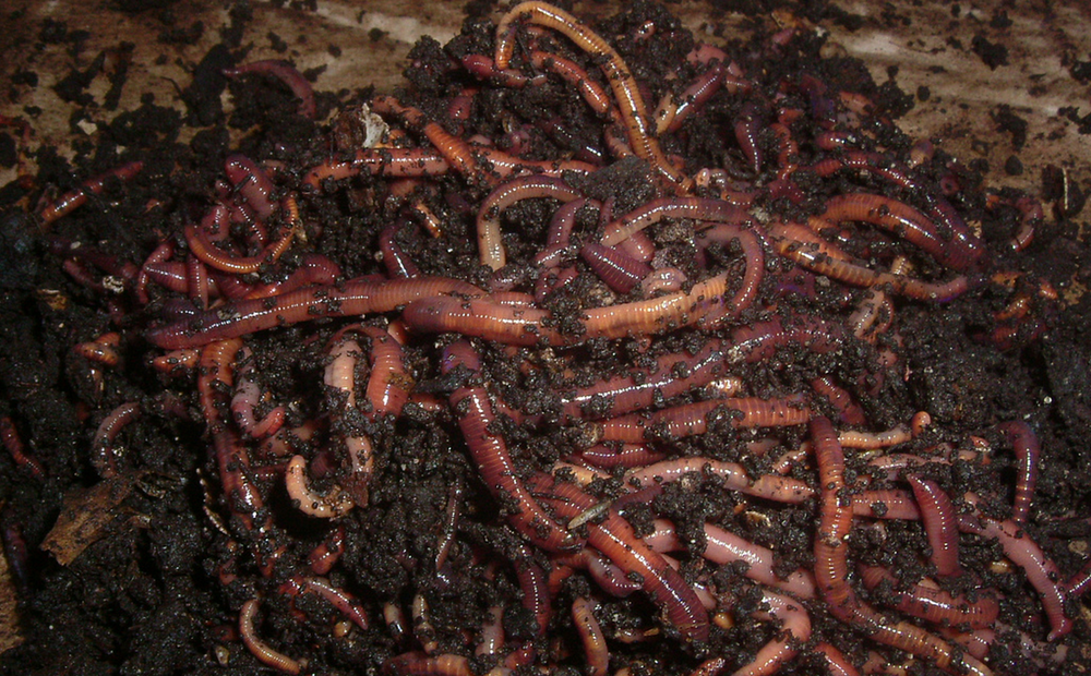 Red California Worm