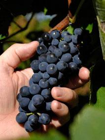 Hand_grapes.jpg