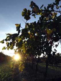 vineyard sunset.jpg