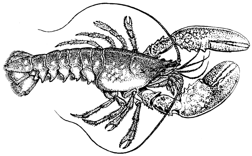 Lobster_(PSF).png