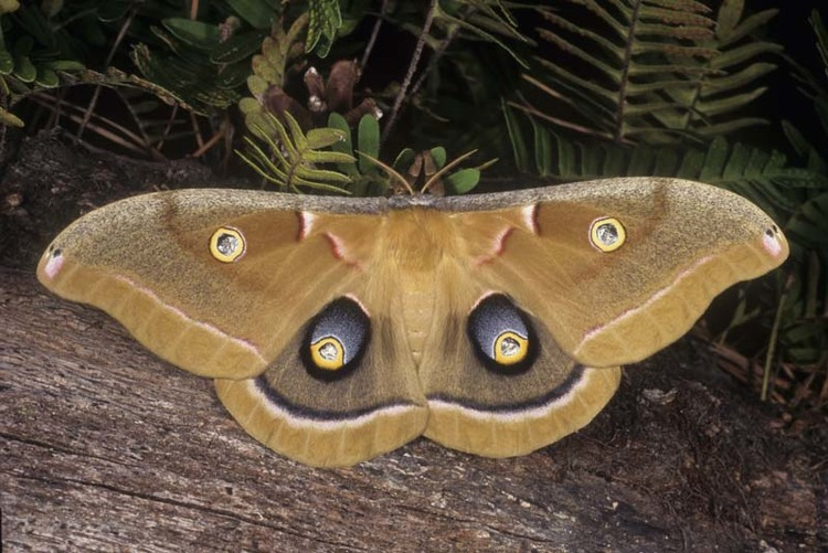 moth-antherae-polyphemus-saturniidae-lepidoptera.jpg