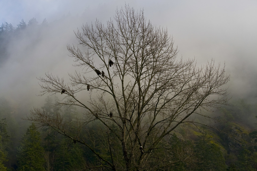 Eagles, Goldstream Park