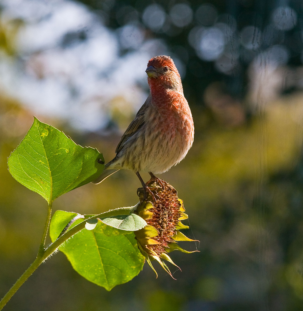 House Finch, Victoria