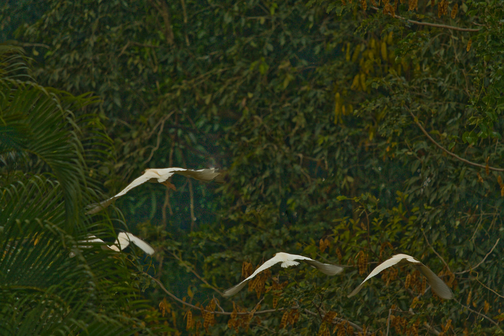 Egrets Hawaii